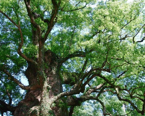 九州産の楠