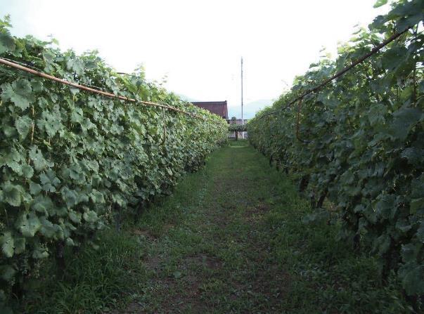 日本の風土に合うワイン造り