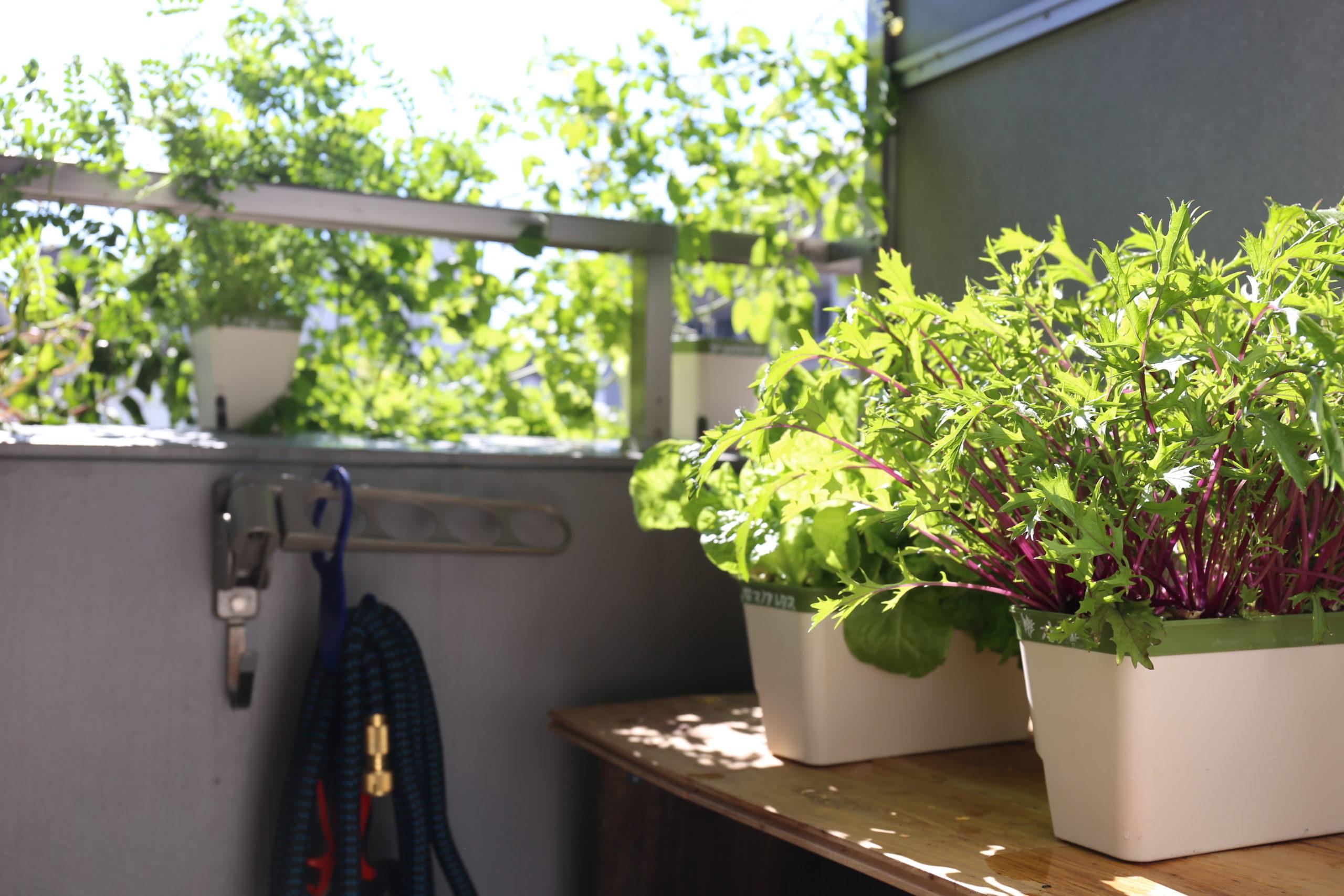 ベランダ菜園の野菜