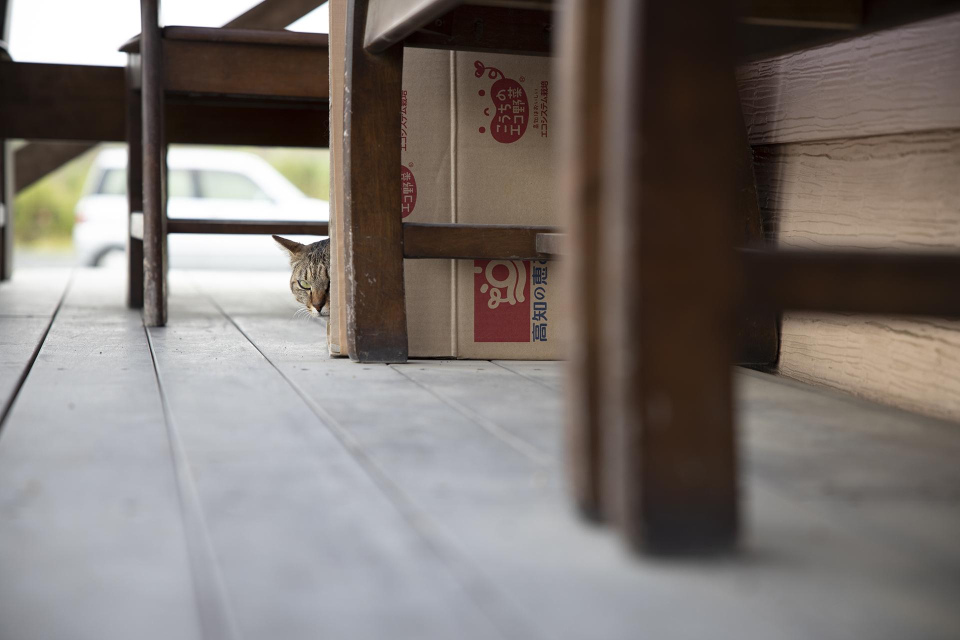 段ボールハウスから覗く猫