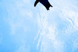 泳ぐペンギン