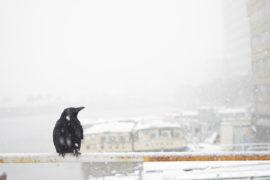 雪の中のカラス