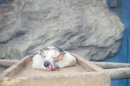 コアリクイの寝顔