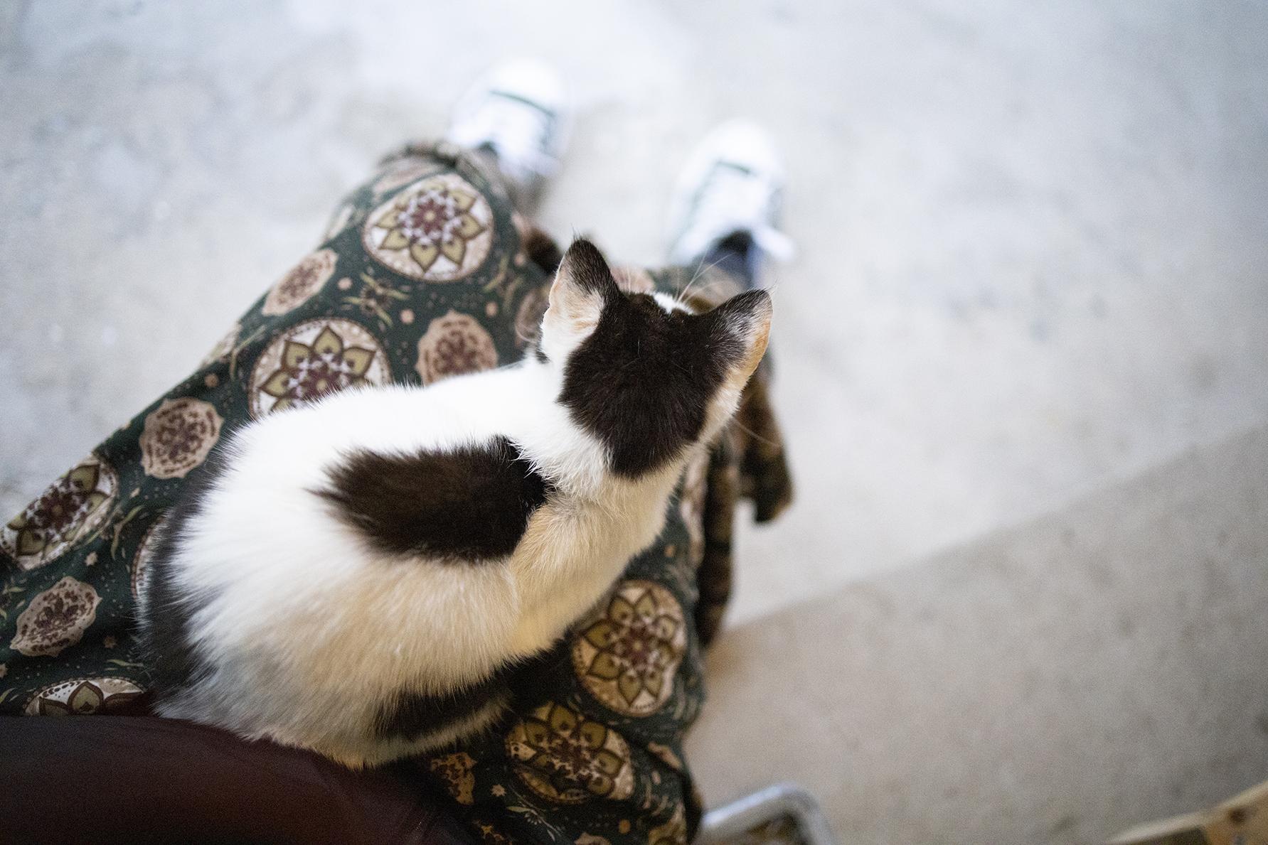 膝の上に乗った子猫