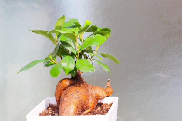 個性的なフォルムがユニークな樹木系観葉植物